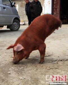Firm and Strong Pig