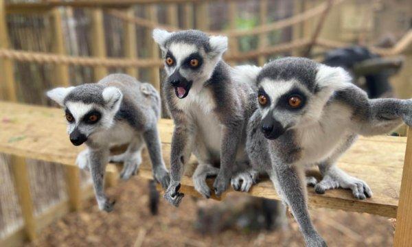 cheeky-lemurs-e1594273548937-600x360 (1)